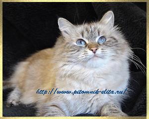 Невская маскарадная кошка neva masquerade