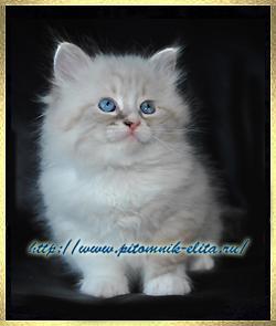 Невские маскарадные котята neva masquerade